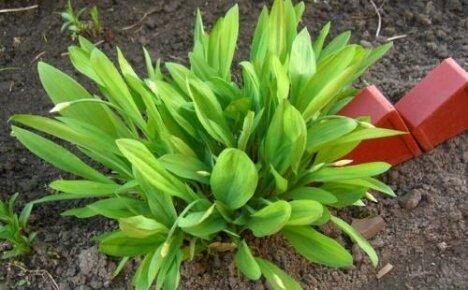 Как выращивать черемшу на даче — два способа завести витаминную пикантную зелень