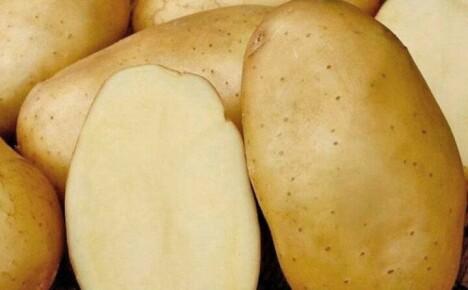 Ознакомительная характеристика картофеля сорта Голубизна