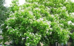 Жизнь южного дерева катальпы в умеренных широтах
