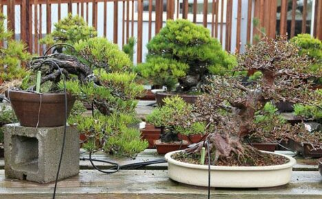 Бонсай – дерево на подносе: особенности ухода и выращивания в домашних условиях