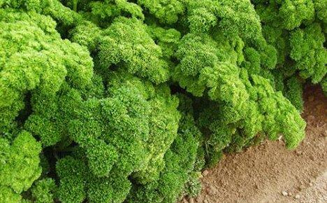 Особенности петрушки кудрявой и способа ее выращивания