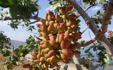 Что мы знаем о фисташковом дереве и как оно растет