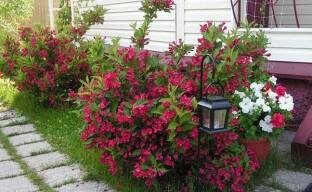 Кустарник вейгела – отличное украшение дачного сада