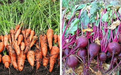 Выбираем подходящее время, когда лучше всего убирать морковь и свеклу