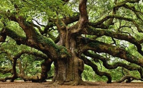 Могучий и великий дуб