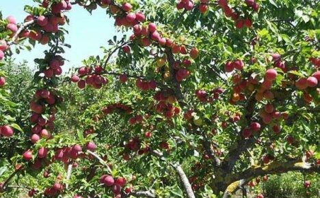 Краткий обзор садовых и декоративных сортов сливы