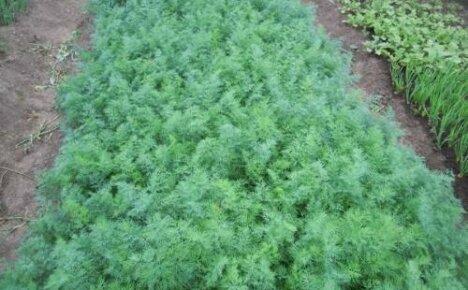Какой сорт укропа дает много зелени