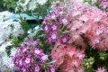 Самый эффектный однолетник для вашего сада — флокс Друммонда, посадка и уход, фото