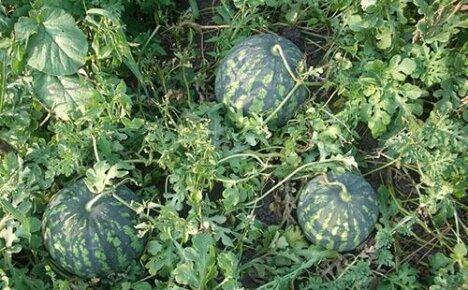 Несложное выращивание арбузов в открытом грунте на даче