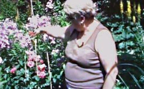 Клематисы – цветущие лианы в саду (видео)