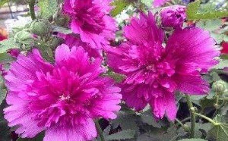 Шток-роза — посадка, выращивание и уход