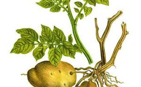 Польза и вред картофеля, его сока, крахмала, отвара, ростков