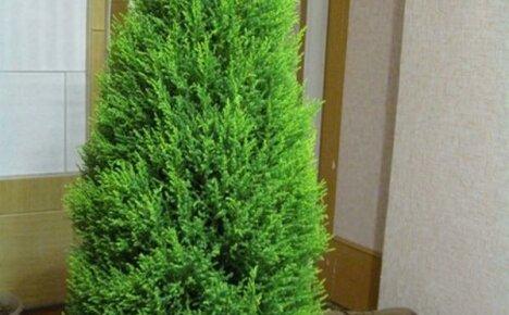Выращиваем комнатный кипарис, создавая ему комфортные условия