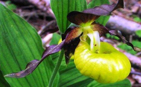 Божественная королева цветов – венерин башмачок