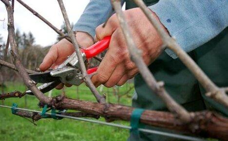 Как обрезать виноград: особенности и сроки обрезки