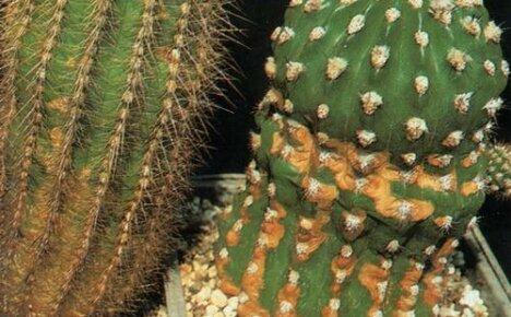 О чем говорят пятна на кактусах: причины проблем и пути их решения