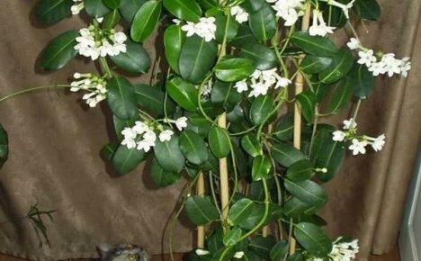 Цветок счастья стефанотис или мадагаскарский жасмин в нашем доме