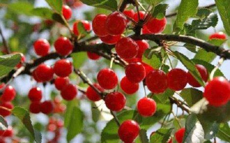 Найдите место на своем участке для гибридного сорта вишни Шпанка