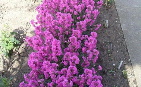 Выращивание смолки из семян поможет украсить сад ярким и красочным цветением