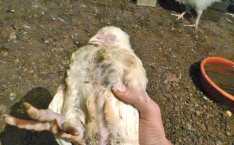 Если выяснить почему дохнут цыплята бройлеры, можно спасти поголовье птицы