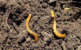 Как производиться уничтожение проволочника на садовых участках