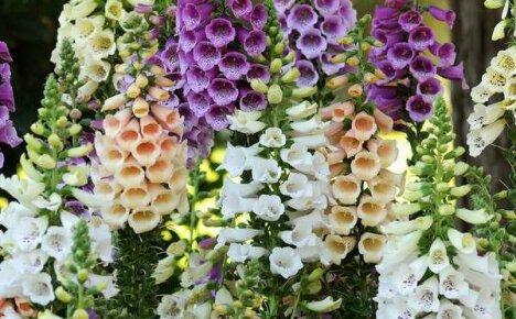 Величавые виды и сорта наперстянки – изумительный акцент сада