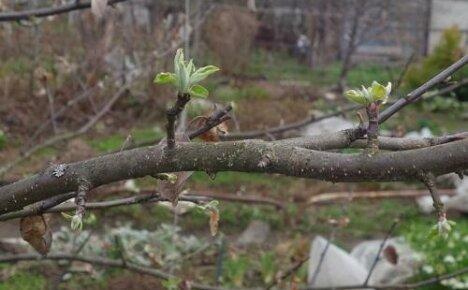Что делать, если взрослая яблоня не цветет