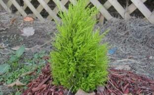 Уход за кипарисом в саду – выращиваем на своем участке капризного южанина