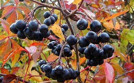 Знакомы ли вам полезные свойства черноплодной рябины?
