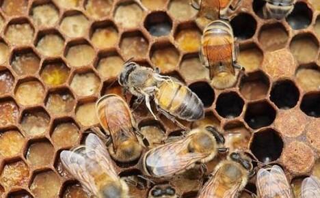 Болезни пчел: признаки, препараты для лечения и меры профилактики