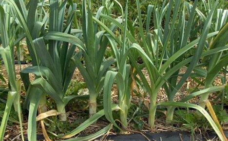 Выращивание лука-порея на дачных грядках, посадка и уход