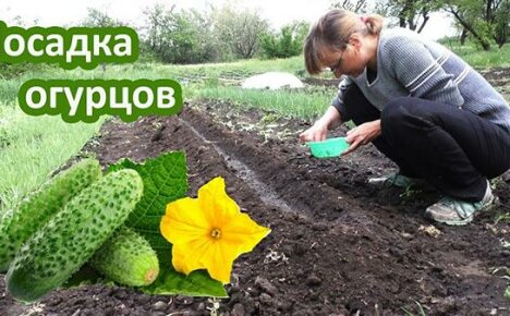 Правильная и своевременная посадка огурцов в открытый грунт — гарант урожая
