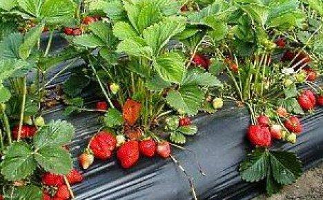 Как посадить и вырастить клубнику из семян самостоятельно?