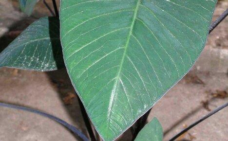 Тонкости выращивания роскошной Ксантосомы в домашних условиях