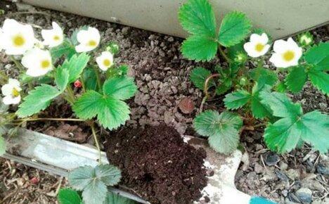 Борьба за урожай клубники весной