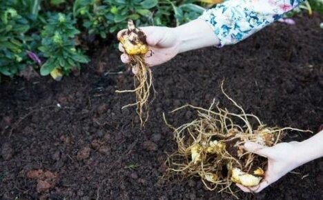 Как сажать лилии: определяемся с глубиной и схемой посадки луковиц