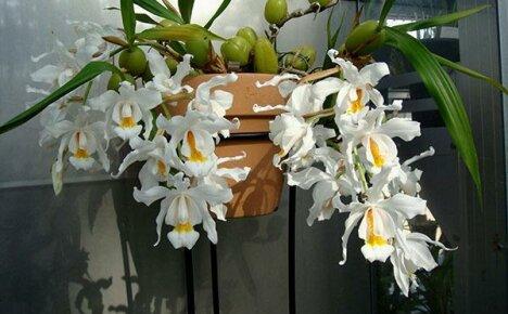 Орхидея целогина: выращивание, размножение и коллекция сортов