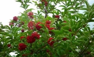 Красная бузина: опасна, но прекрасна и полезна