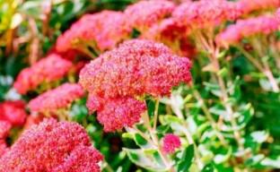 Нежный и красивый очиток видный Рознетеллер в вашем саду