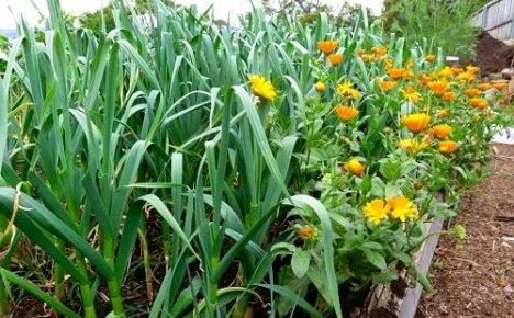Календула на огороде — боремся с вредителями красиво