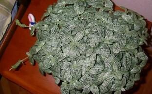 Уход за фиттонией: важные нюансы выращивания маленького пестролистного чуда