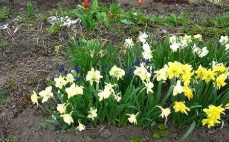 Нарциссы садовые: особенности посадки и выращивания весенних первоцветов