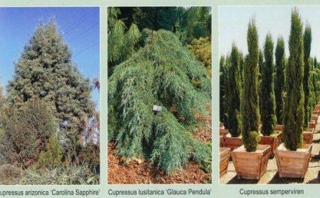 Какие виды кипариса можно посадить в саду