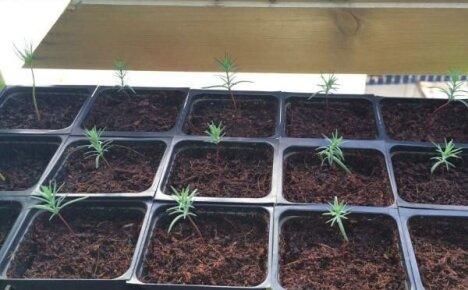 Выращиваем кипарис из семян – несложный способ получить вечнозеленого красавца