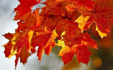 Лечебные свойства листьев клена и противопоказания к применению