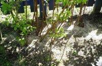 Как ухаживать за малиной весной: секреты хорошего урожая сладкой ягоды