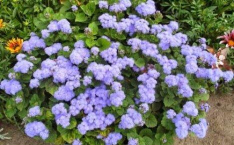 Как сажать агератум — выращиваем рассаду долгоцветки