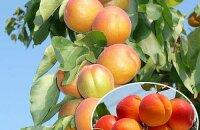 Колоновидный абрикос Звездный порадует крупными плодами и компактной кроной