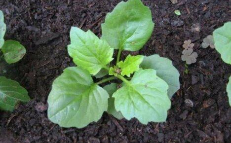 Выращивание астр в открытом грунте из семян