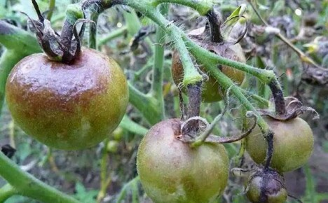 Грибковые заболевания томатов: признаки появления и методы профилактики
